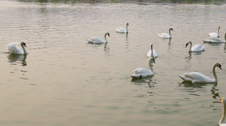vdo : Swan Lake. Swans on the water