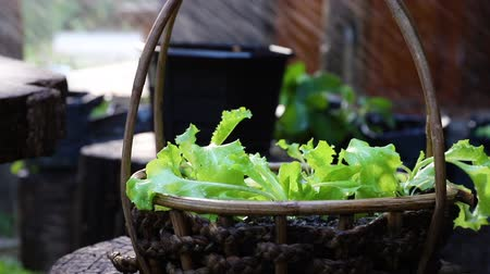 botanik : splash lettuce on a basket, organic vegetable