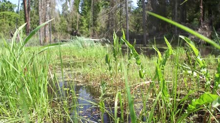 morass : Marsh in forest in summer Stock Footage