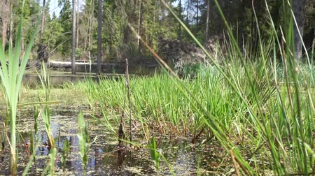 morass : Marshland in forest in summer