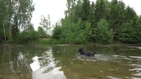 sicília : Dog Playing And Swimming In A Pond In Summer 4K