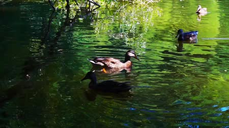 шлейф : Ducks on water in city park pond in slow motion