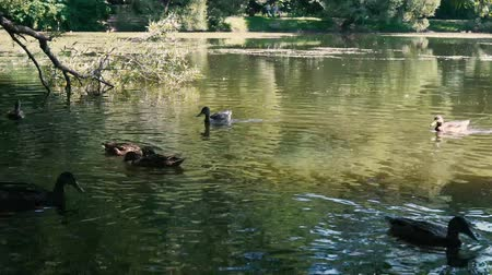 гелий : Ducks on water in city park pond