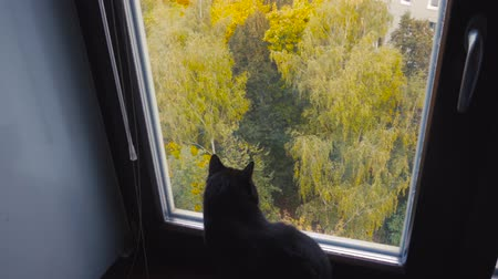 bichano : Black cute cat looking out of the window in autumn Vídeos