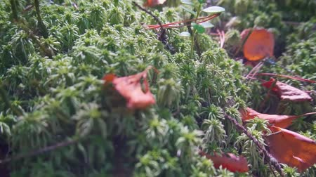 Fresh green moss covered ground in the forrest. Slow motion Dostupné videozáznamy
