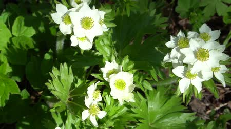 polinização : Anemone narcissiflora, the narcissus anemone or narcissus-flowered anemone white flowers with green Stock Footage