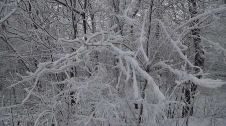 neve : trees covered with snow