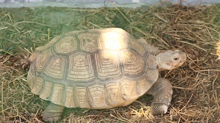 conchas : La tortuga camina en un aviario Archivo de Video