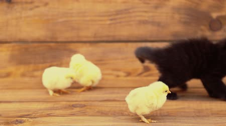 hostility : kitten with chickens Stock Footage