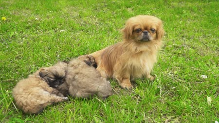 pelyhes : Pekingese puppies are sleeping together