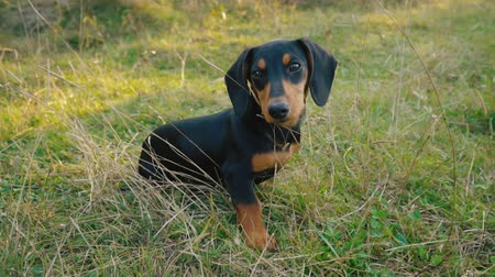 domestic short haired : Dachshund breed dog outdoors