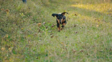 daksund : Dachshund dog runs