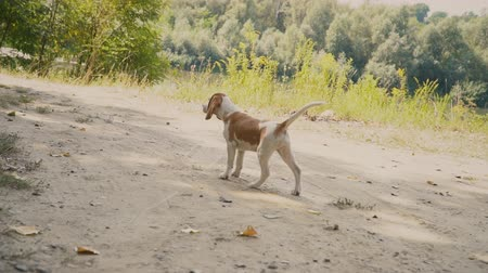 düşünceli : dog beagle is looking for something Stok Video