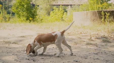 hunting dog : dog beagle is looking for something Stock Footage