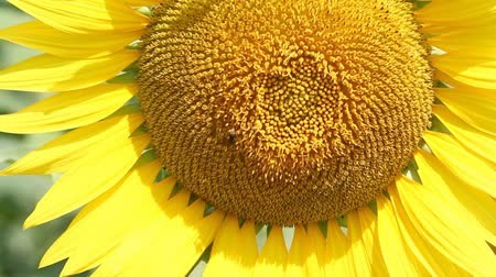 girasoles : girasol y la abeja Archivo de Video
