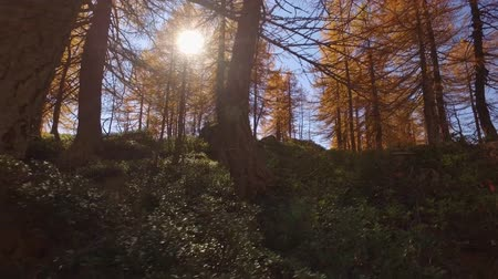 fall through : POV walking on fall woods path near trees.Side view with sun. Sunny autumn day Hiking in colorful red forest wild nature mountain outdoors.Alps Devero lake park. 4k point of view establishing video