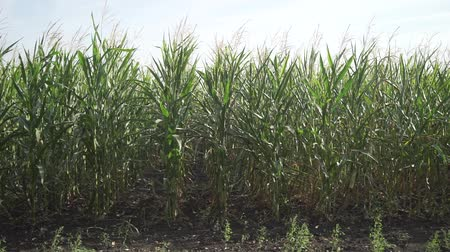 corn crop : corn cob field