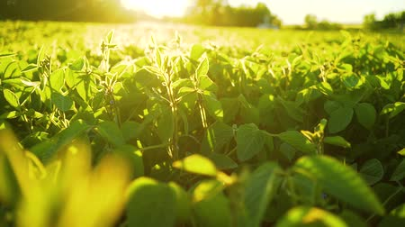 mezőgazdasági : Soybean bloom at sunset close up. Agricultural soy plantation background.