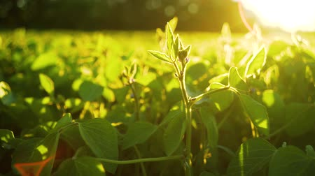 plantação : Soybean bloom at sunset close up. Agricultural soy plantation background.