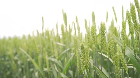 mezőgazdasági : Ears of wheat on a spring green field