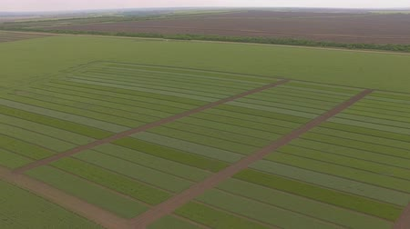grain growing : Field of green wheat plots shooting from air