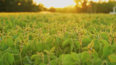 соя : Soybean bloom at sunset close up. Agricultural soy plantation background.