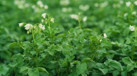 field kitchen : White flowers of blooming potatoes at selective focus on a blurr