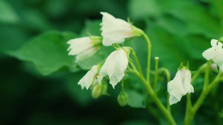 White flowers of blooming potatoes at selective focus on a blurr