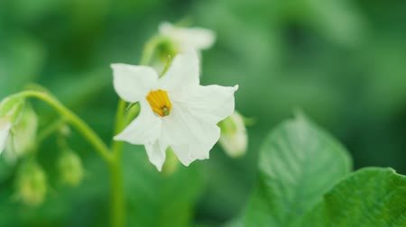 spring flowers : White flowers of blooming potatoes at selective focus on a blurr