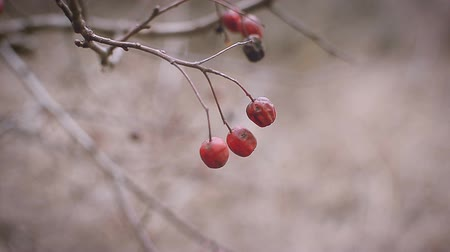 macro fotografia : bright red berries on a hawthorn branch