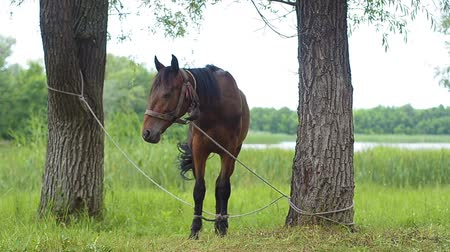 stable fly : Horse tied to a tree. Stock Footage
