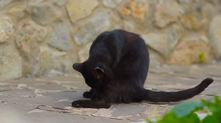 salya : Black cat washes paws with language. Stok Video