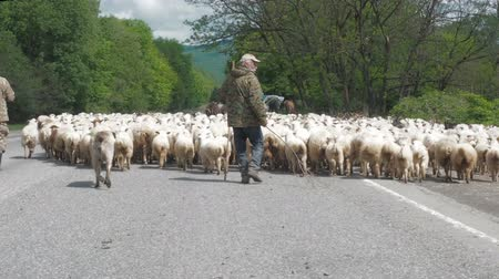 cowherd : UNNAMED PLACE, GEORGIA - JUNE 17, 2017: Shepherds drive a flock of sheep and rams. Livestock took the roadway. Traffic jam on the road due to livestock.