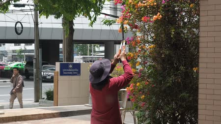 зелень : Bangkok, Thailand - May 8, 2019: Gardener cut branches for decoration on the street of Bangkok. A gardener mows a large bougainvillea bush in a big city by hand with large garden shears.