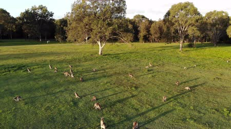 canguru : Aerial shot of Kangaroos grazing at sunset, wide shot moving forward. Queensland, Australia
