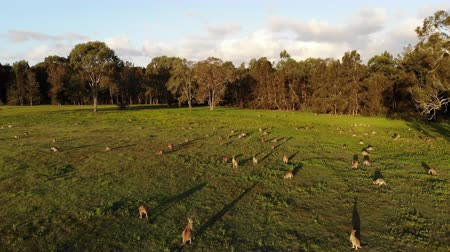 canguru : Aerial shot of Kangaroos grazing at sunset, wide shot reversing. Queensland, Australia