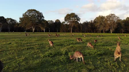 australian landscape : Aerial shot of Kangaroos grazing at sunset, medium shot moving forward. Queensland, Australia Stock Footage