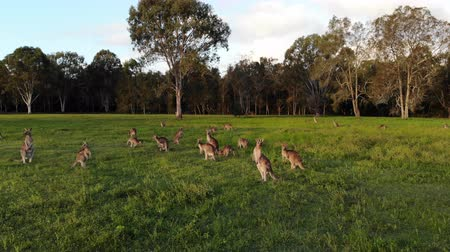 canguru : Aerial shot of Kangaroos grazing at sunset, medium shot moving forward. Queensland, Australia Vídeos