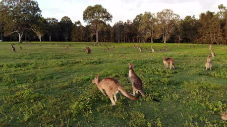 goma : Aerial shot of Kangaroos grazing at sunset, tight shot moving left. Queensland, Australia