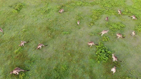 goma : Aerial shot of Kangaroos grazing at sunset, looking down. Queensland, Australia Stock Footage