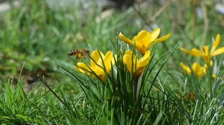 beporzás : flight of yellow crocus