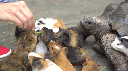 evcil hayvanlar : Close up of female hand feeding turtle and guinea pigs