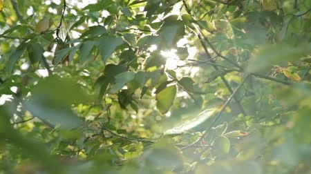 krzak : Sunlight and lens flare,tree leaves, HD