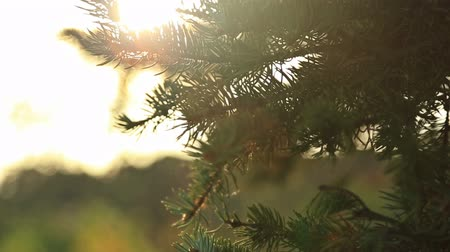 napfény : Sunlight and lens flare,tree leaves, HD