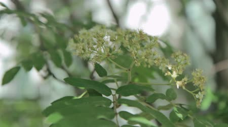 pereira : Blooming tree branch