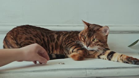 contentamento : Bengal cat lying and touching golden ring