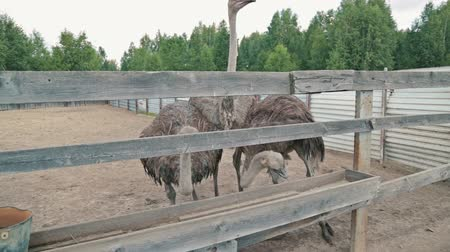 pštros : Group of hungry ostriches (Struthio camelus) eat from the trough on an ostrich farm