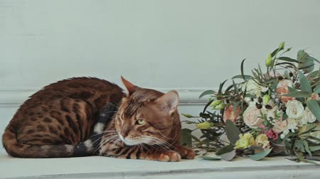 contentamento : Bengal cat lying near flowers and white wall