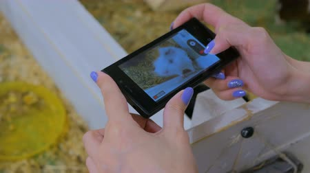 świnka morska : Woman using smart phone take a photo of guinea pig in zoo