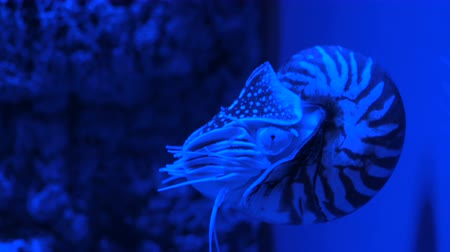 měkkýšů : Nautilus pompilius swimming in aquarium. Blue bright light